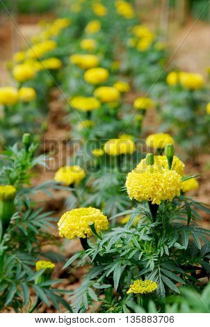 Colorful blooming marigold flowers in a garden.