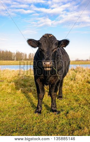 Impressive black Galloway bull chews on a grass stalk while standing on the bank of a river. It is a sunny day in the winter season.