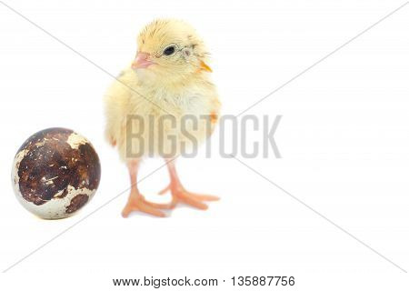 Yellow and brown baby quail on a white background