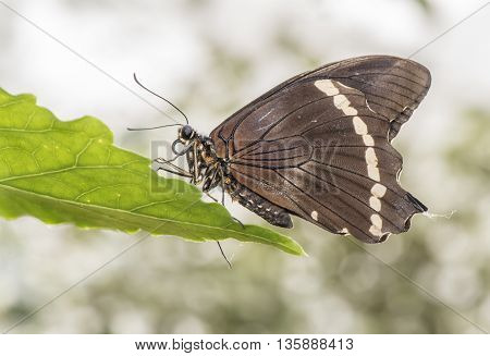 Blue Banded Swallowtail Butterfly On A Leaf