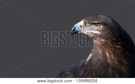 Portrait of an eagle's head on an isolated background.