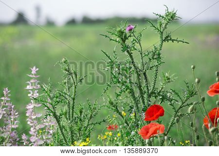 Poppies, sage and thistle on the field background