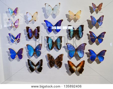 Pyatigorsk, Russia - 3 March, Butterflies with blue wings, 3 March, 2016. Resort zone Mineral Waters, Krasnodar region. Insect Museum.