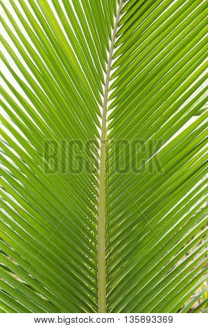 Bright Green palm tree leaf texture use for background