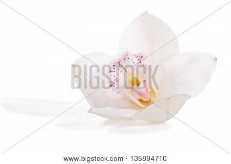 Flower white orchid isolated on white background