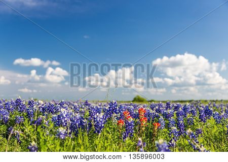 bluebonnet and indian paintbrush filed and blue sky