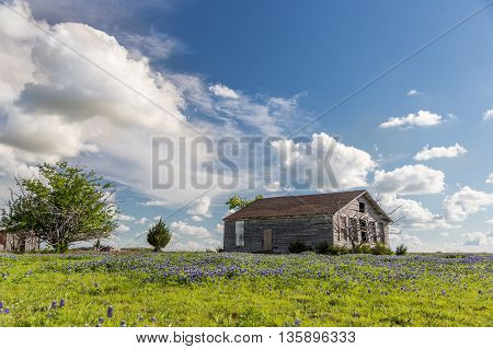 texas bluebonnet field and abandon barn in sunny day