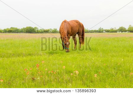 beautiful brown horse in green farm land