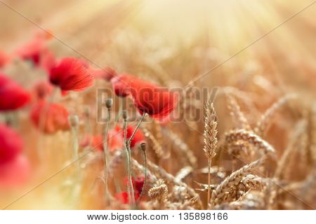 Selective focus on wheat, wheat field and red poppy flowers lit by sun rays - beautiful nature