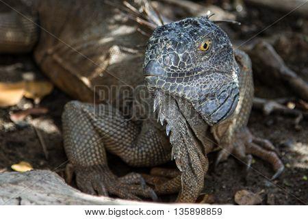 A large iguana on the island of St. Maarten
