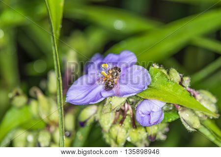 Bee on flower tradescantia.  We see   flowers  in a garden near Kiev.