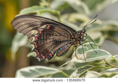 Gold Rim Swallowtail Butterfly On A Leaf