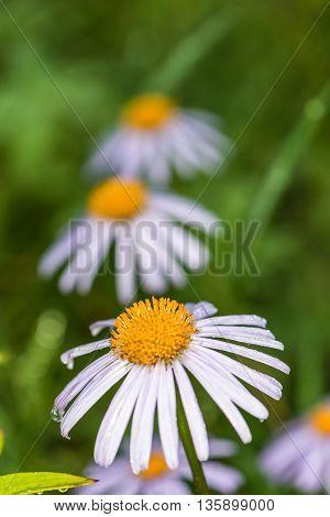 Echinacea flowers in the garden.  We see   flowers  in a garden near Kiev.