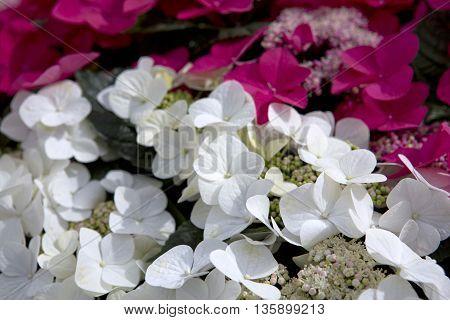 Pink and white flower hydrangea background close up. Close up of a group white and pink hydrangea.