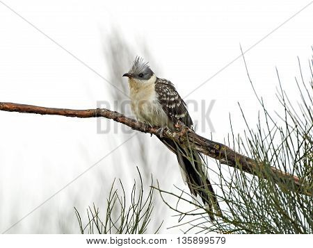 Great spotted cuckoo (Clamator glandarius) resting on a branch in its habitat