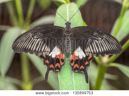 Common Mormon Butterfly on a plant, close up