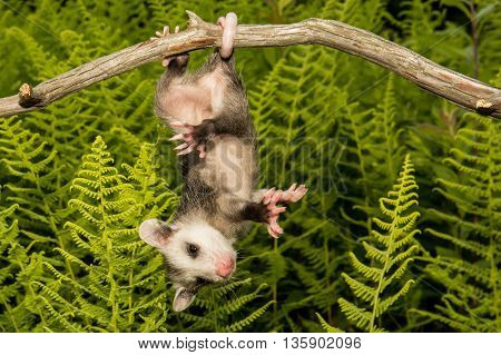A baby opossum hanging from tail on a branch.