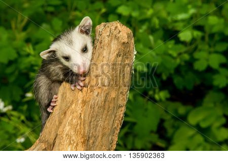 A baby opossum climbing a stump in the woods.