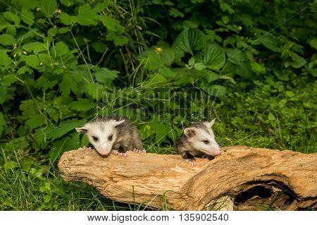 Baby Opossum crawling on a tree stump.