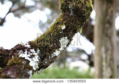 White Coral Fungi with moss on the tree