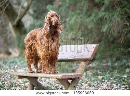 Beautiful Irish Setter dog standing on a bench