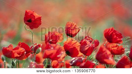 Website banner of red poppy field in Summer
