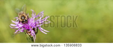 Website banner of a honeybee as working on a purple flower