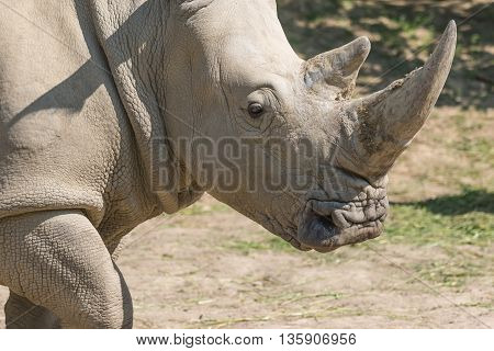 Closeup view of the head of the rhinoceros.