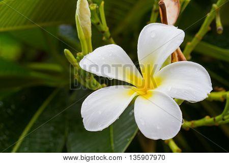 white plumeria flower on the tree after rain