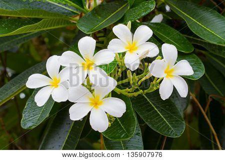 white plumeria flowers on the tree after rain