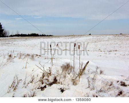 Bullrush On Field