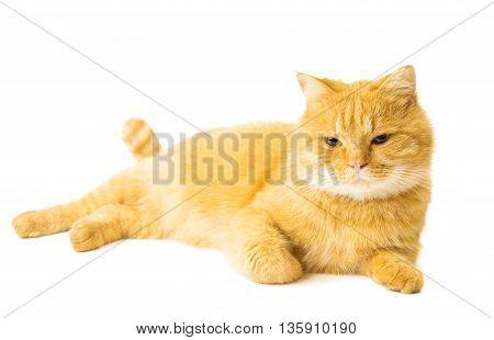 ginger orange cat isolated on white background