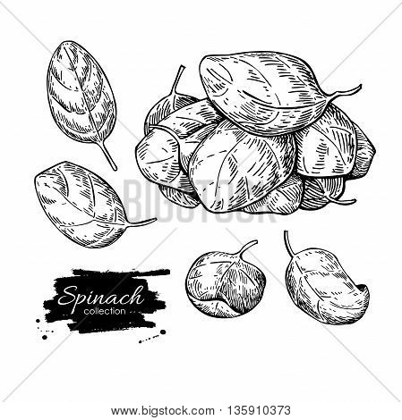 Spinach leaves hand drawn vector set. Isolated Spinach leaves drawing on white background. Vegetable engraved style illustration. Detailed botanical drawing. Farm market product