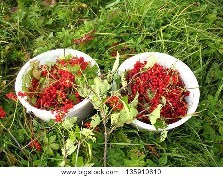 There are red berries of guelder-rose in buckets and green grass