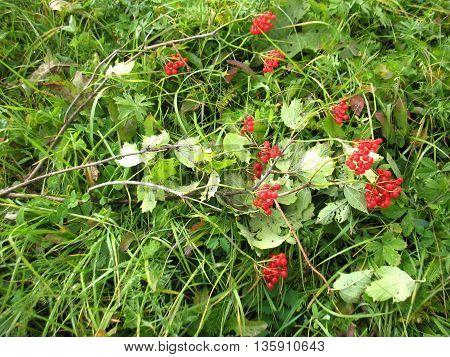 Red Berries Of Guelder-rose