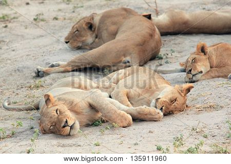 young lioness resting and sleeping on the African savannah, Kenya