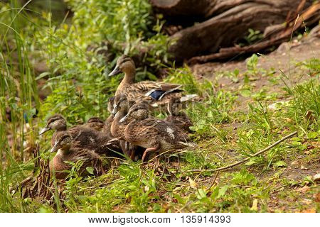 A duck with babies on a grass.
