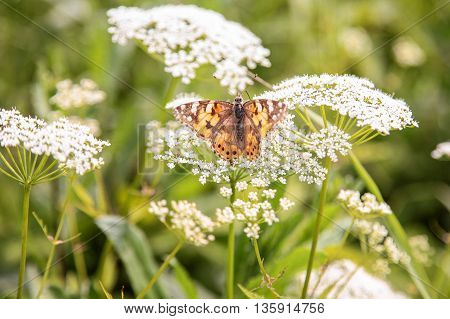 Sankt-St. Petersburg-25.06.2016: a butterfly on white, wild flowers, in the summer afternoon