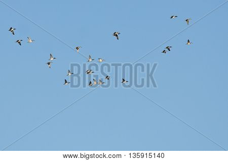 Flock of Green-Winged Teal Flying in a Blue Sky