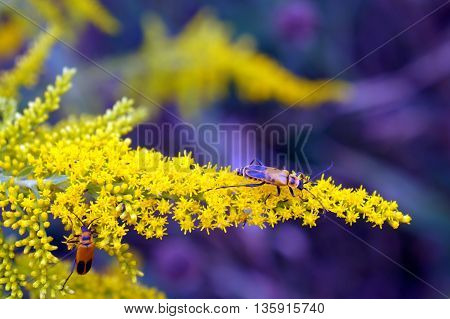 Goldenrod soldier beetles (Chauliognathus, pensylvanicus) climb on the inflorescence of a Canada goldenrod (Solidago canadensis) in Shorewood, Illinois during August.