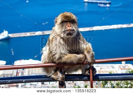 Barbary macaque in Gibraltar, Spain. Selective focus.