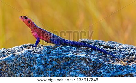 Agama lizard on Rock with dry Savannah grass in background