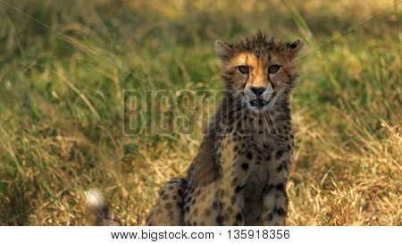 Cheetah (Acinonyx Jubatus) cub staring at me