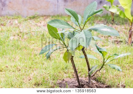 Plumeria tree on green grass ,Close up