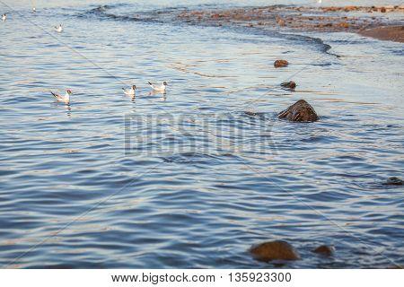 several seagulls swimming  at Baltic sea waters