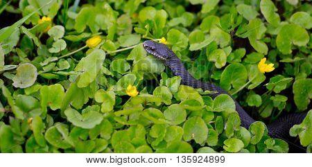 wild black viper in the green grass