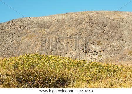 Rhodiola Rosea In Natual Environment