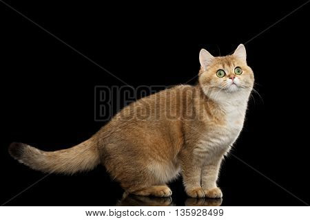 Funny British Cat Gold Chinchilla color with Green eyes Standing and Curious Looks, Isolated Black Background, Side view
