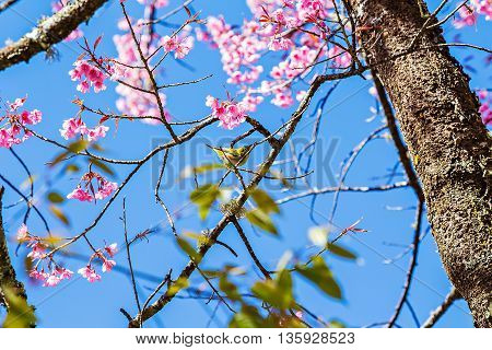 White-eye bird standing on the Wild Himalayan cherry blossom