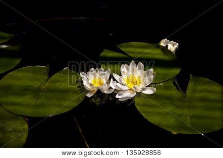 Blooming water lilies on a pond . a beautiful picture to be appreciated